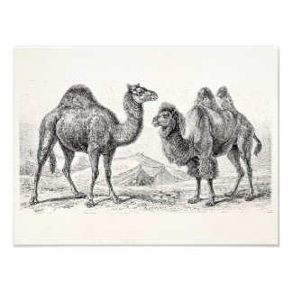 Ilustração do camelo do vintage - camelos antigos impressão de fotos