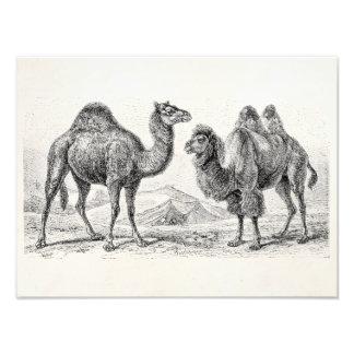 Ilustração do camelo do vintage - camelos antigos impressão de foto