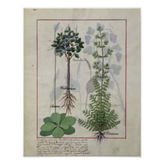 """Ilustração do """"livro das medicinas simples"""" 2 pôster"""