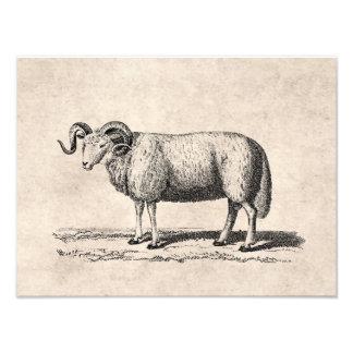 Ilustração dos carneiros domésticos do vintage - r impressão de foto