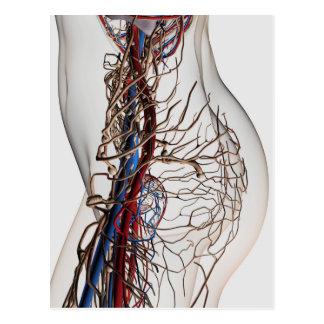 Ilustração médica das artérias 2 cartoes postais