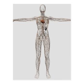 Ilustração médica do sistema linfático fêmea cartão postal