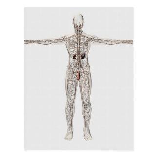 Ilustração médica do sistema linfático masculino cartões postais