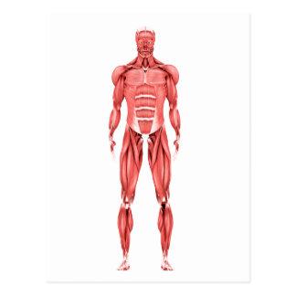 Ilustração médica do sistema muscular masculino 2 cartao postal