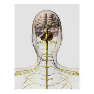 Ilustração médica do sistema nervoso humano 2 cartoes postais