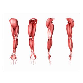 Ilustração médica dos músculos humanos do braço cartoes postais