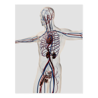 Ilustração médica: Sistema reprodutivo masculino 3 Cartão Postal