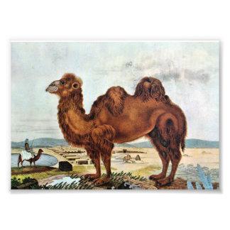 Ilustrações do camelo do vintage (Zotl) Fotos