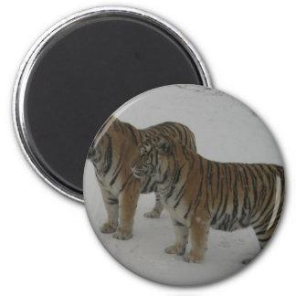 Imã Alugueres dois tigres Siberian