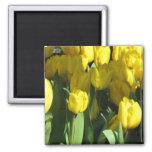 Ímã amarelo das tulipas imãs