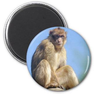 Imã Assento do macaque de Barbary
