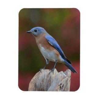 Ímã bonito do Bluebird