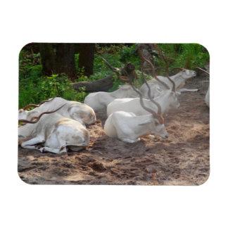 Ímã branco do antílope