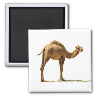 Imã Camelo pequeno