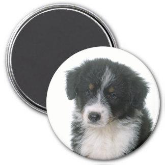Imã Cão de filhote de cachorro australiano do pastor