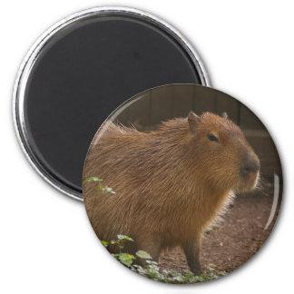 Imã Capybara