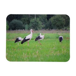 Ímã Cegonhas brancas da migração, ciconia, em um prado
