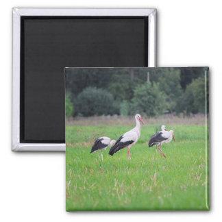 Imã Cegonhas brancas da migração, ciconia, em um prado