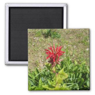 Imã Celosia vermelho no primavera
