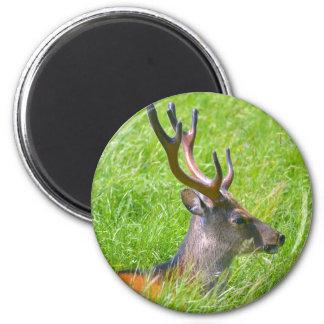 Imã Cervos de fallow do fanfarrão na grama