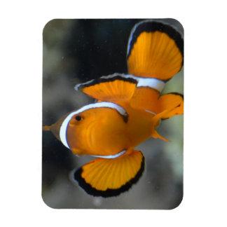 Ímã clownfish que enfrentam a parte dianteira