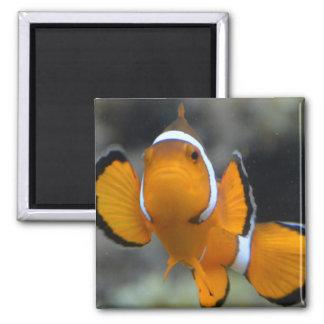 Imã clownfish que enfrentam a parte dianteira