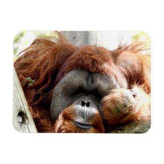 Ímã Coleção animal - orangotango vermelho