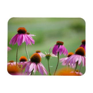 Ímã Coneflowers roxo oriental