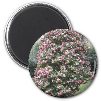Imã Cultivar antigo da flor do japonica da camélia