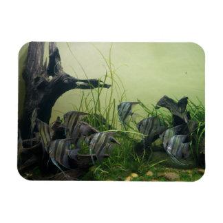 Ímã da foto do Angelfish de Orinoco