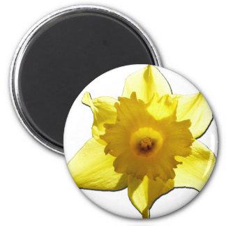 Imã Daffodil 1,0 da trombeta amarela