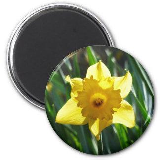 Imã Daffodil amarelo 02.2_rd
