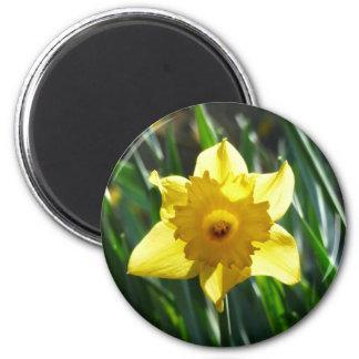 Imã Daffodil amarelo 03.0.g
