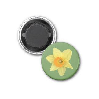 Imã Daffodil amarelo do primavera