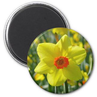 Imã Daffodils amarelos alaranjado 01,0