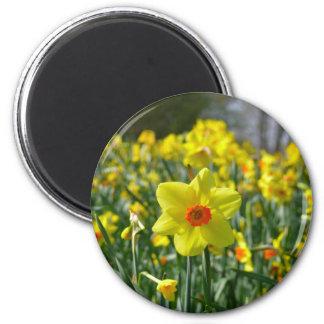Imã Daffodils amarelos alaranjado 01.0.2