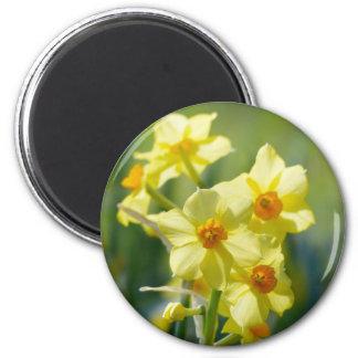 Imã Daffodils bonito, narciso 03.2_rd