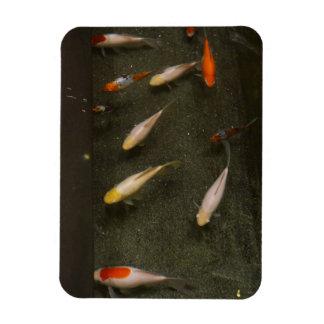 Ímã de Nishikigoi (peixe de Koi)