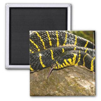 Imã Dendrophila de Boiga ou cobra dos manguezais