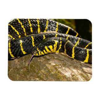Ímã Dendrophila de Boiga ou cobra dos manguezais