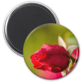 Imã Design ascendente próximo da rosa vermelha