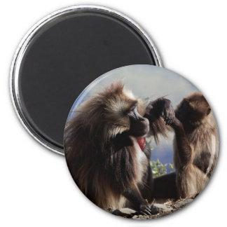 Imã Dois babuínos do gelada (gelada de Theropithecus)