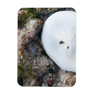 Ímã Dólar de areia em um recife de Fiji na maré baixa