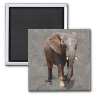 Imã Elefante africano