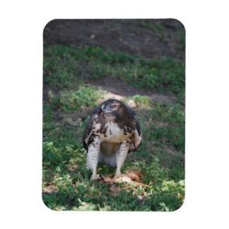Ímã Falcão vermelho da cauda
