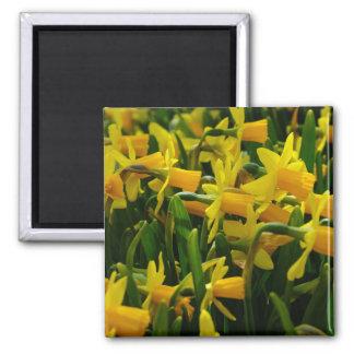 Imã Família do Daffodil