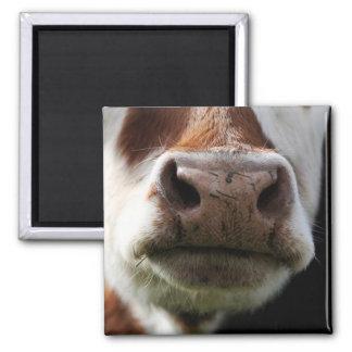 Imã feche acima de uma vaca