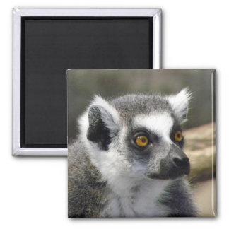 Imã Fim Anel-Atado do Lemur acima do retrato