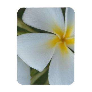 Ímã Flor tropical branca do Plumeria de Fiji