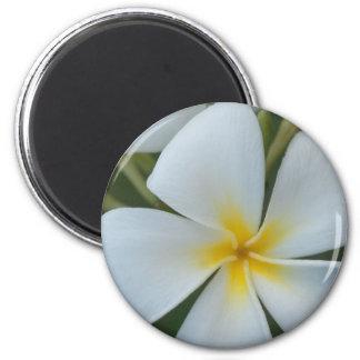 Imã Flor tropical branca do plumeria de Fiji